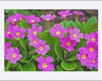 Pink Oxlip Flower Fine Art Print
