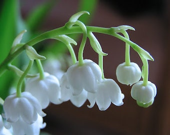 1/4oz Natural Lily of the Valley Perfume Oil, Lily of the Valley Oil, Lily of the Valley Fragrance, Lotions and Potions