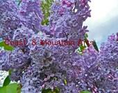 Lavender Lilac Photo card