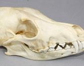 Real bone,Coyote Skull