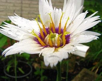 Cupid's Dart, Alba, Unique Flower with Purple Center, Perennial, 10 Seeds