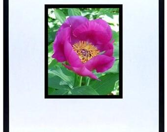 "Pink Poppy 2 Photograph 5""x7"""