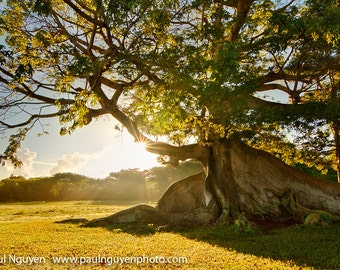 Ancient Tree photograph, Vieques Puerto Rico ceiba tree, 10x15 print matted on white 16x20 mat. 300 year old ceiba tree, sunrise, Vieques