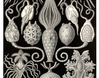 Biology Poster, Biology Art Print, Ernst Haeckel Mycetozoa Scientific Illustration, Educational Wall Art, Cellular Art, Black and White Art