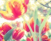 "Flower Photography-Red-Chic-Vintage-tulip-Home Decor-Nursery Decor-office-8x10 Luster Print-""Awaken"""