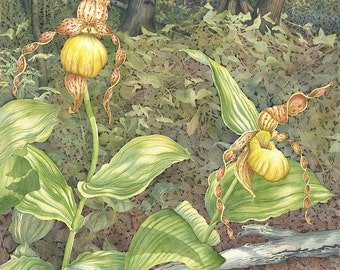 Yellow Lady's Slippers giclee print