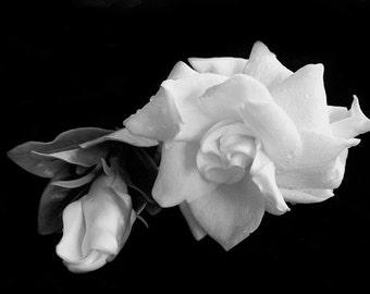 White Gardenias on Black Background