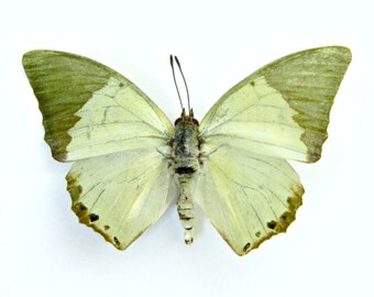 Butterfly, Real Dried Butterfly Specimen, Green, Pastel , Décor, Terrarium Accent, Craft Supply, DIY, Create, Nature, Eco Friendly
