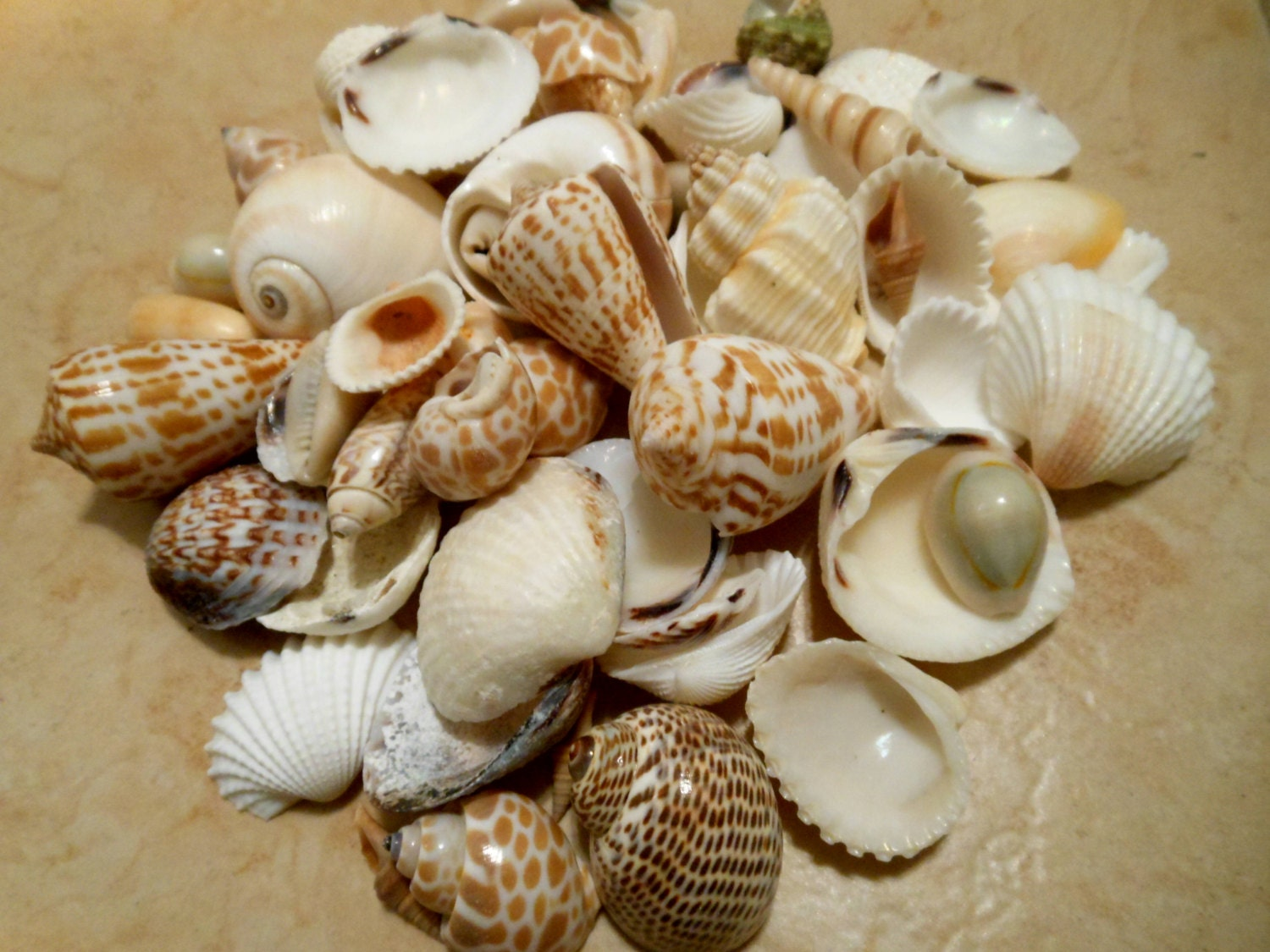 Seashells Indian Ocean Beach Mix Assorted Seashells Seashell