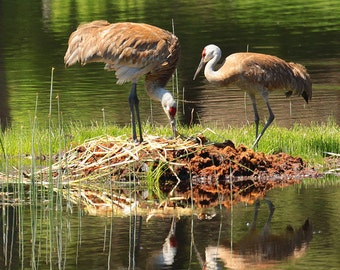 Nesting--8x10 sand hill cranes Yellowstone National Park Wyoming birds water fowl photography fine art