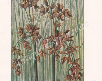 1919 Club-rush, Bulrush or Tule - Scirpus lacustris and American bulrush - Scirpus silvaticus Antique Coloured Plate