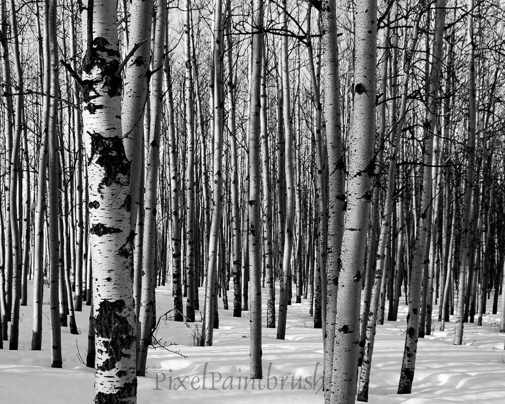Black And White Birch Tree Painting