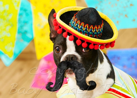 Items Similar To Thank You Card Boston Terrier Mexico