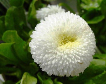 English Daisy Bellis Seeds - White Super Enorma Double White ,Bellis perennis ,Biennial Flowers Seeds .