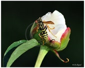 Macro photography-Peony flower and Yellow Jacket wasp-black, white, green, pink, yellow high contrast home decor fine art - SingingWingsArt
