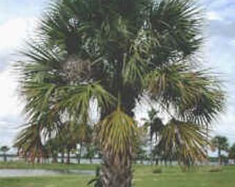 Cold Hardy Palm Tree