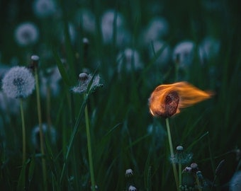 Nature photography, dandelion photography, fire potography