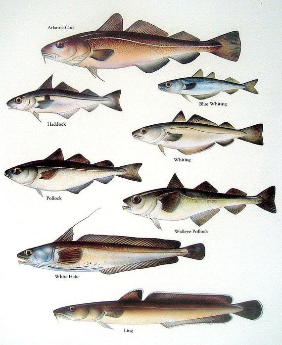 Vintage fish print 1984 atlantic cod haddock by for Atlantic cod fish