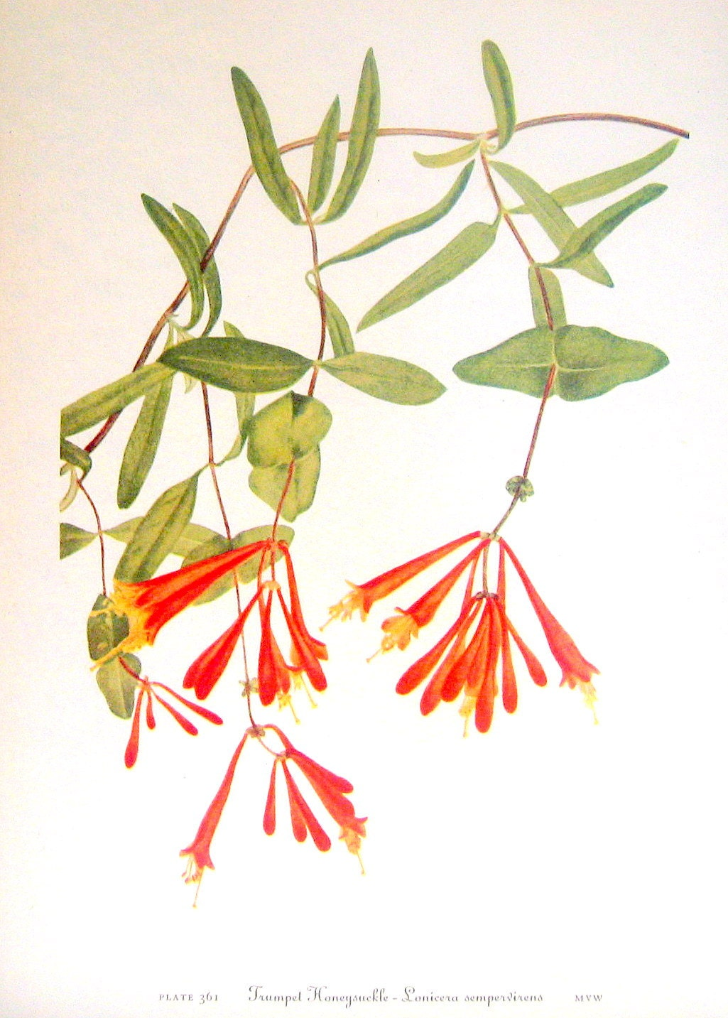 Honeysuckle Flower Line Drawing : Flower print trumpet honeysuckle bearberry