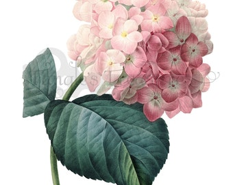 Vintage French Pink Hydrangea Printable Digital Image: Commercial Use - Image No. R62 Instant Download