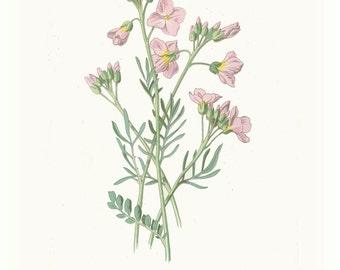 Antique Inspired, Botanical Print, Antique Wild Flower, Lady's Smock, Bittercress, Cuckoo Flower, 1880, Hulme, Vintage Flower