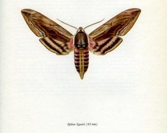 Vintage Moth Print, Privet Hawk (109) Prochazka, 1966, Butterfly, Lepidoptera, Natural History, Frameable Art