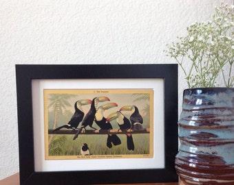 The Toucans, The Bird Park, Santa Catalina, California - framed vintage postcard