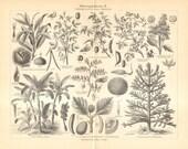1905 Antique Engraving of Domesticated Plants, Sweet Chestnut, Glycine Soja, Hyacinth Bean, Quinoa, Chickpea, Latundan Banana, Breadfruit