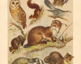 1901 Wildlife of the Forest, Pine Marten, Badger, Lynx, Wildcat, Squirrel, Dormouse, Wild Pigeon, Woodpecker, Cuckoo, Owl Antique Lithograph