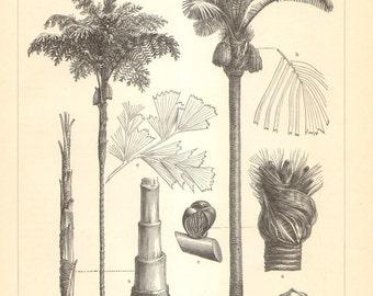 1905 Palm Trees - Toddy Palm, Sugar Palm, Talipot Palm, Moriche Palm, Palmyra Palm Original Antique Engraving to Frame
