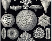 "Antique Sea Coral Print - (1900) by Ernst Haeckel,  Archival print 11"" x 17"""