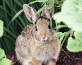 Nature Photography - Nursery Art - Cottontail Bunny Rabbit - 8x10 Fine Art Photo