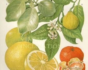 Vintage Botanical Print Antique GRAPEFRUIT 87, plant print botanical print, bookplate art print, citrus fruit plants plant wall