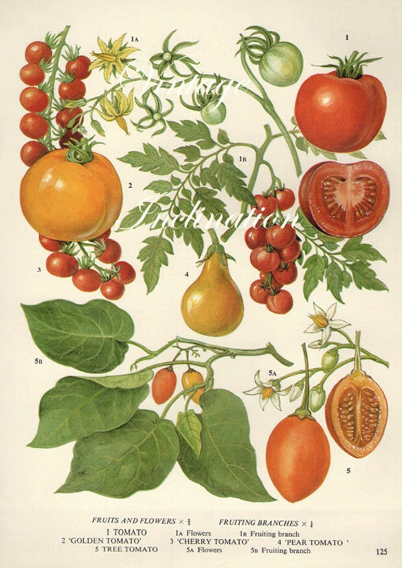 Vintage Botanical Print Antique TOMATOES plant print