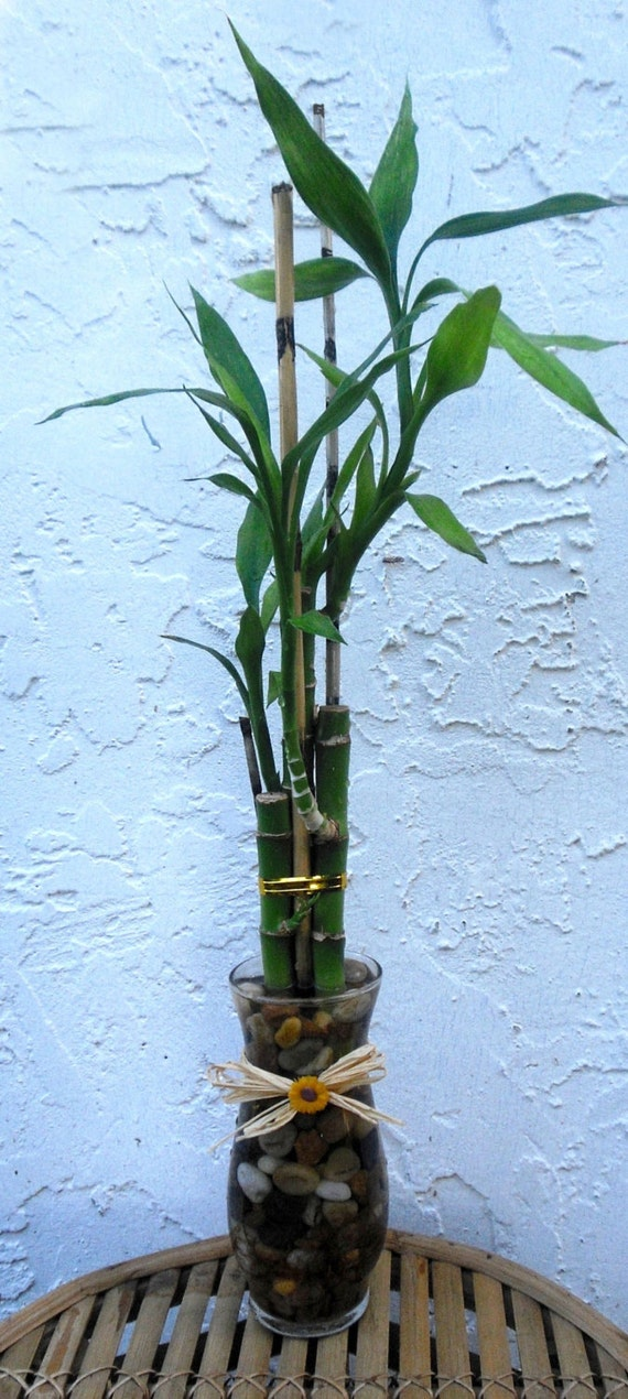 Large Vases With Bamboo Poles ~ Lucky bamboo stem glass vase with sticks raffia and