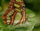 Malachite Butterfly, 5x7 Fine Art Photography, Butterfly Photography - CindiRessler