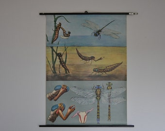 SALE Authentic Mid Century Entymology Print. Blue Darner Dragonfly (Aeshna cyanea). Pull Down Chart. Jung Koch Quentell. Germany.