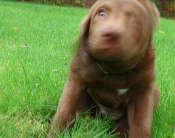 Dog Photograph Chesapeake Bay Retriever Puppy Close Up  8x10 (IMG4296)