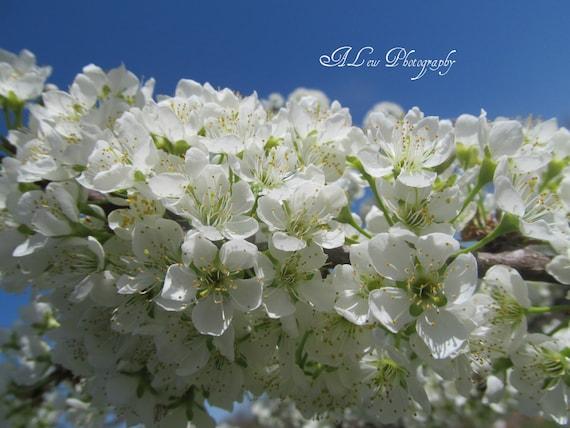 Plum Tree Blossoms 8x10 Print