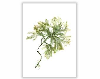 Seaweed Print Botanical Artwork, Ocean, Coastal Living, Beach, 8x10, Wall Decor, Matted Print, Green Art