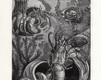1908 Edwardian  antique SEA LIFE print of hermit crabs, sea shell in black and white, 104 years old lithograph