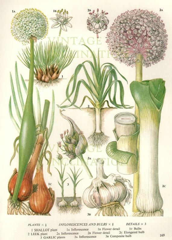 how to grow leeks in victoria