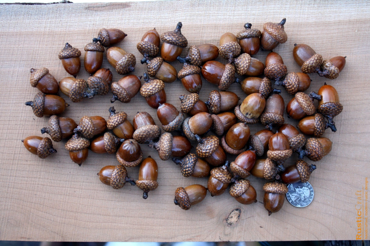 Large acorns with affixed caps preserved with shellac for Acorn decoration