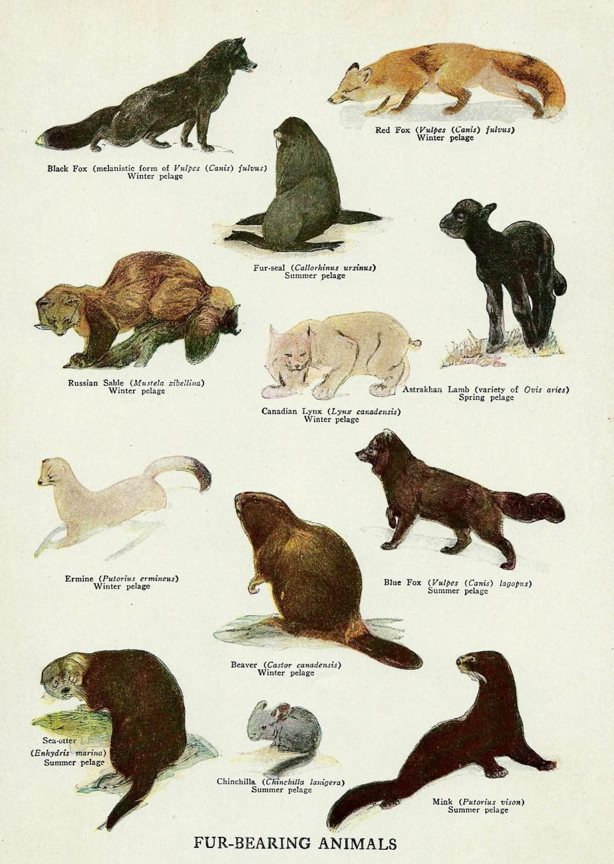 vintage animal illustration 1940 s fur bearing animals