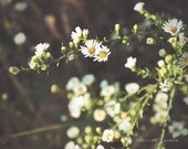 Wild Flower Photograph. Nature Photography. Fine Art. Large Wall Art. Home Decor. White. Yellow. Spring. Summer. Flower Photo. - jillianmaryhall