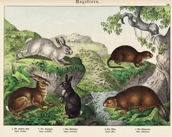 1886 Gorgeous RABBITS fine chromolithograph, white rabbit, hare, beaver, original antique  126 years old largue print