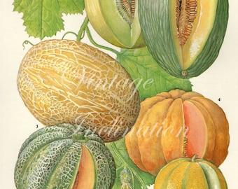 Vintage Botanical Print Antique CANTELOUPE MELONS, plant print botanical print, bookplate art print, peach fruit plants plant wall print