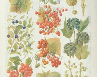 Vintage 1930s Botanical Print Antique BERRIES, plant print botanical print, bookplate art print, berries fruit plants plant wall print 3670