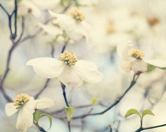 white dogwood flower photography, nature photograph, dogwood tree, spring wall art, white home decor, large blue living room wall art