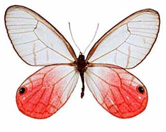 Pink Glasswing Butterfly, Spread for your project or laminated